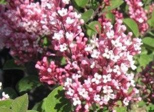 Lilac, Tinkerbelle (Syringa 'Bailbell')