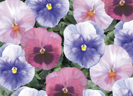 Pansy, Delta Mix Cotton Candy