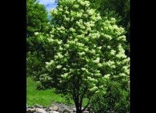 Lilac, Ivory Silk (Syringa reticulate 'Ivory Silk')