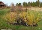 Dogwood, Bud's Yellow (Cornus alba 'Bud's Yellow')