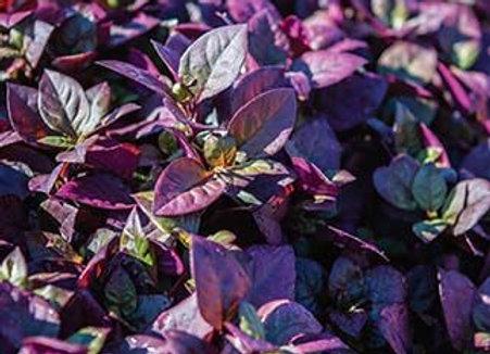 "Alternanthera, Purple Prince - 4"" pot"