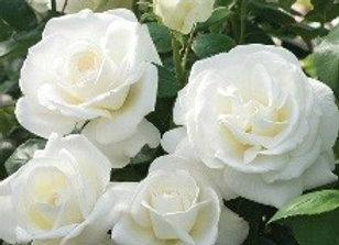 Tea Rose, Sugar Moon