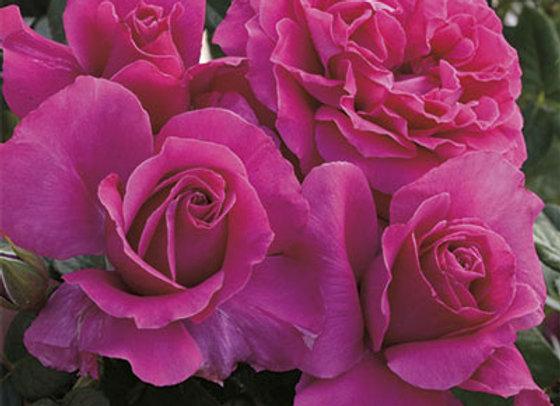 Rose, Pretty Lady (Hybrid Tea)