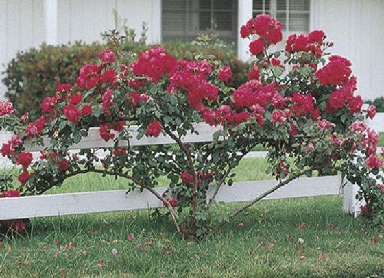 Rose, Blaze Improved (climing)