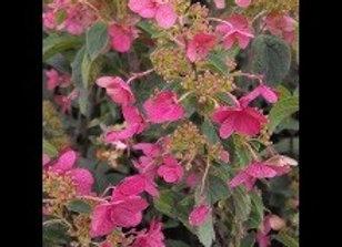 Hydrangea, Quick Fire (Hydrangea paniculata 'Bulk'))