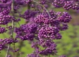 Beautyberry, Bodinier (Callicarpa bodinieri