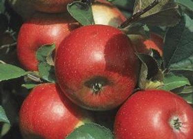 Apple, Freedom