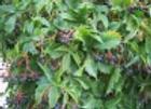 Woodbine (Virginia Creeper) (Parthenocissus inserta)