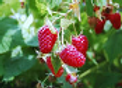 Raspberry Boyne