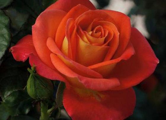 Rose, Burst of Joy ( Floribunda)