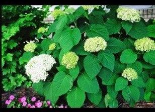Hydrangea,  Annabelle (Hydrangea arborescens 'Annabelle')