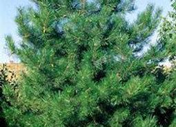 Pine Austrian (Pinus nigra)