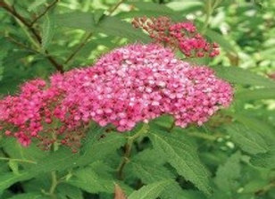 Spirea, Neon Flash (Spirea japonica 'Neon Flash')