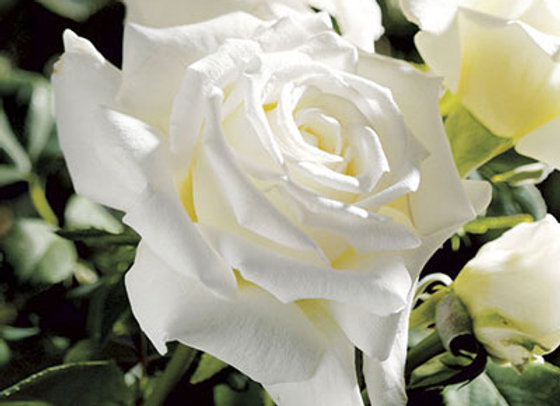 Rose, John Paul II (Hybrid Tea)