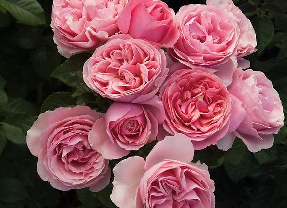Rose, All Dressed Up