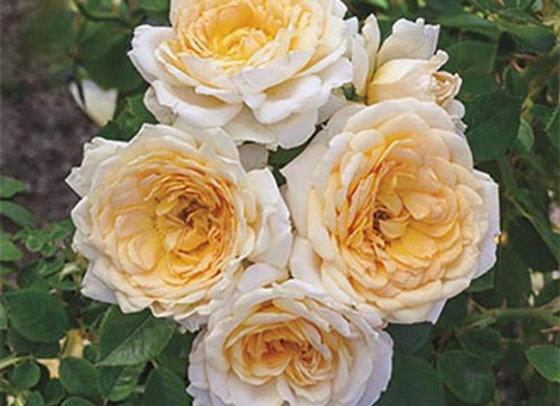 Rose, Ediths Darling (Shrub)