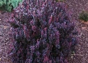 Barberry, Crimson Pygmy (Berberis thnubergii 'Crimson Pygmy')