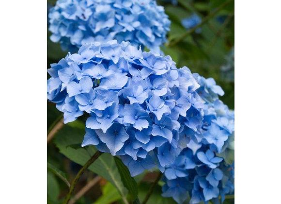 Hydrangea, Nikko Blue (Hydrangea macrophylla 'Nikko Blue')