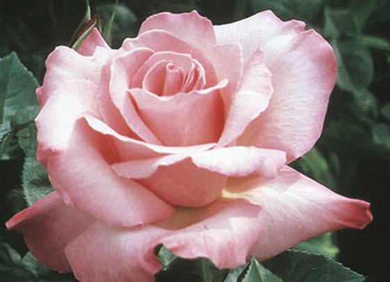 Rose, First Prize (Hybrid Tea)