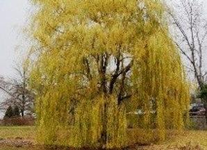 Willow, Golden (Salix 'Golden')