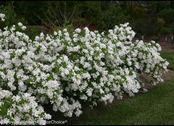 Pearl Bush, Snow Day (Exochorda x 'Blizzard')