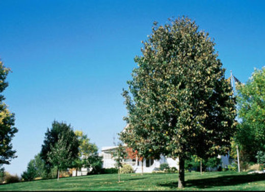 Linden, Frontyard (tillia americana 'bailyard'