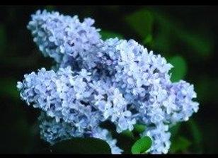Lilac, President Grevy (Syringa xvulgaris 'President Grevy')