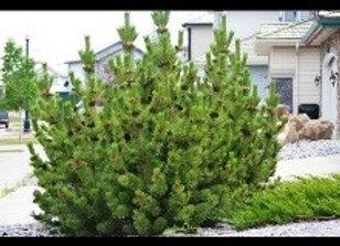 Pine, Mugo Standard (Pinus mugo mughus)