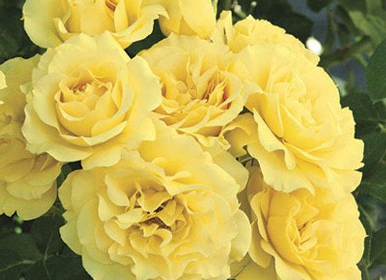 Rose, Sparkle & Shine (Floribunda)