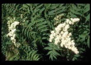 Spirea, Ash Leaf ( Sorbaria sorbifolia)