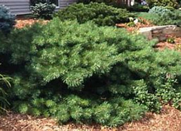 Pine, Hillside Creeprer (Pinus sykvestrus)