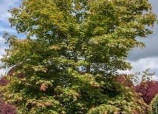 Maple, Northwind (Acer x pseudosieboldianum)