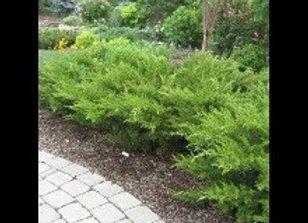 Juniper Sea Green (Juniperus chinensis 'Sea Green')