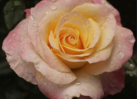 Rose, Day Breaker (Floribunda)