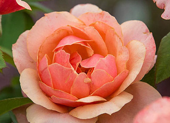 Rose, State of Grace (Hybrid Tea)