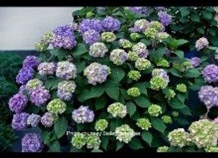 Hydrangea Bloomstruck (Hydrangea maculata)
