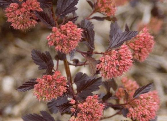 Ninebark, Summerwine (Physocarpus opulifolius 'Summerwine')