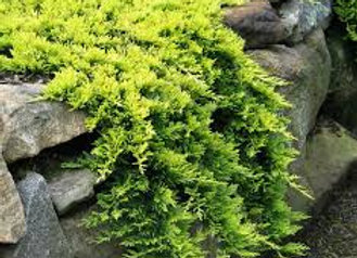 Juniper, Mother Lode (Juniperus horizontalis 'Mother Lode')