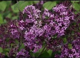 Lilac, Bloomerang  (Syringa ' SMSJBP7')