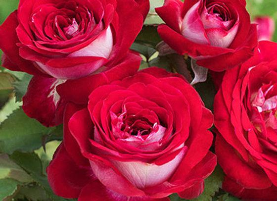 Rose Love at First Sight (Hybrid Tea)