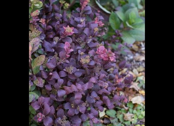 Spirea, Birch Leaf Pink Sparkler (Spiraea betuifolia)