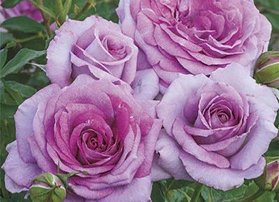Rose, Violets Pride ( Floribunda)