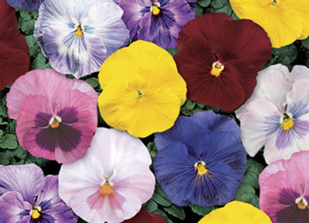 Pansy, Delta Monet Mix