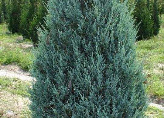 Juniper, Moonglow (Juniperus scopolorum 'Moonglow')