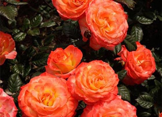 Rose, Chihuly (Floribunda)