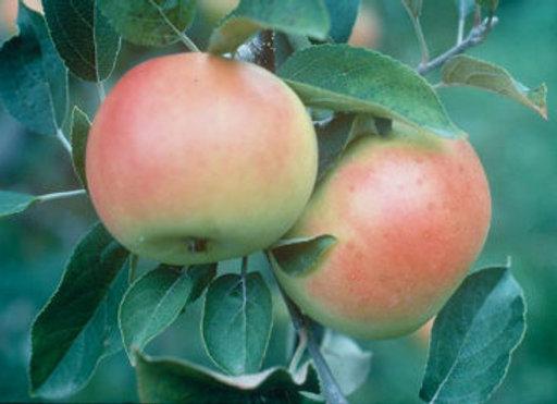 Apple, Goodland