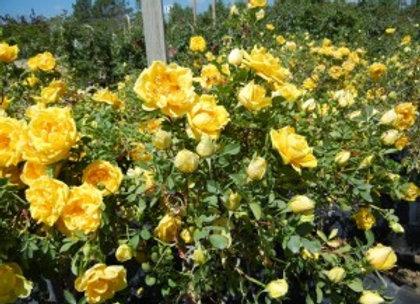 Rose, Persian Yellow (shrub)