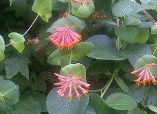 Honeysuckle Dropmore Scarlet (Lonicera x brownii 'Dropmore Scarlet'