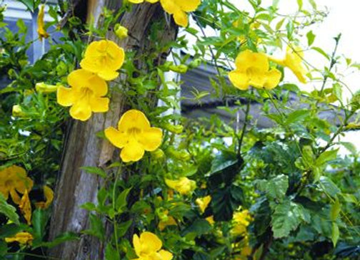 Trumpet Vine, Yellow (Campis x radicans flava)