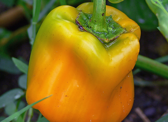 Pepper, Golden California Wonder (Heirloom)